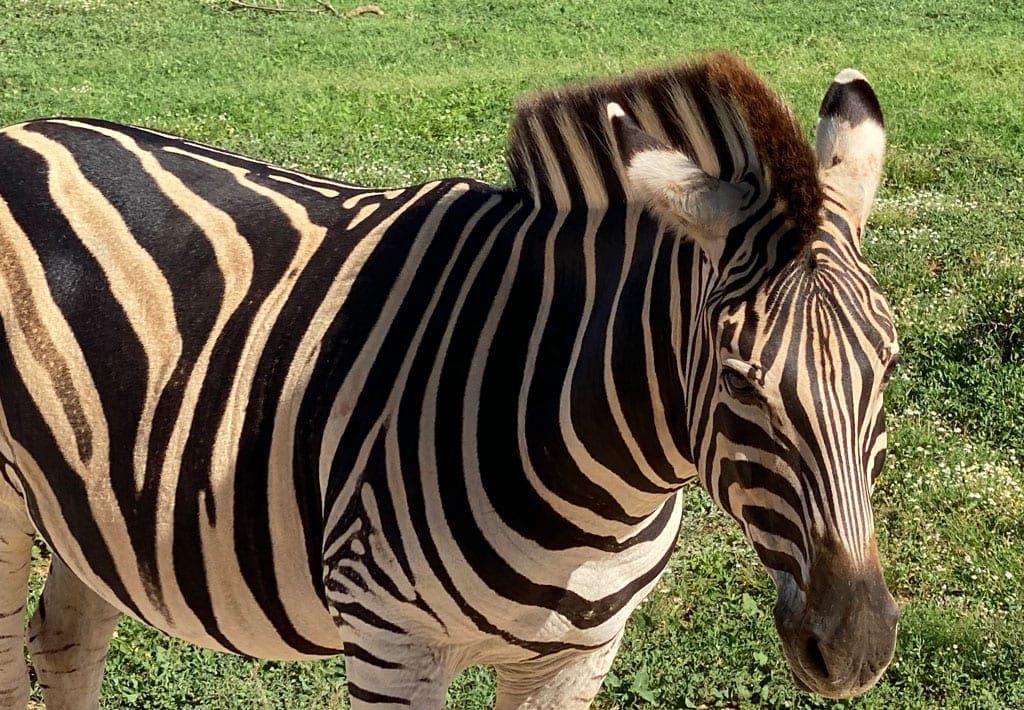 A close up of a Zebra.