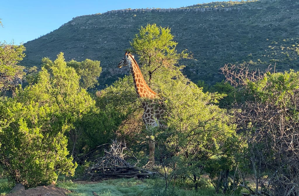 A giraffe stands amongst trees.